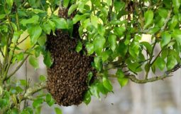 What To Do After Catching A Swarm Of Bees 2
