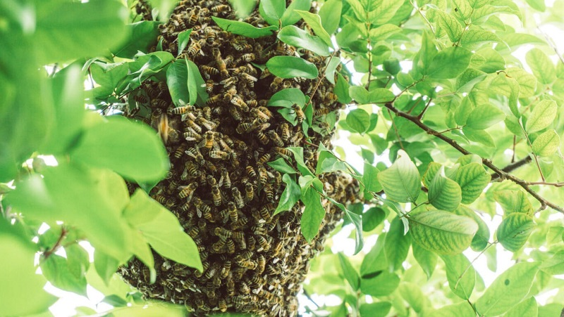 What To Do After Catching A Swarm Of Bees