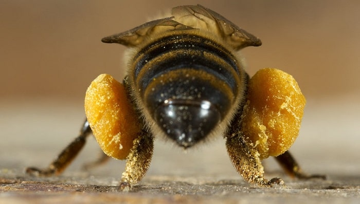 How to Harvest Pollen from Bees