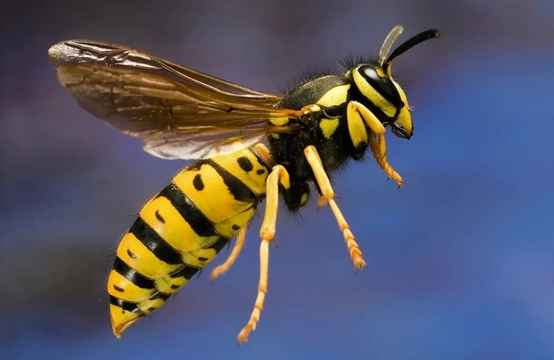 What Are Yellow Jackets