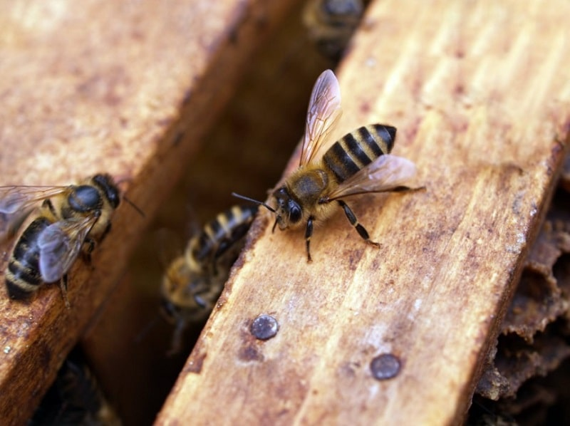 How Far Will Honey Bees Travel From Their Hive