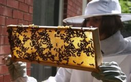 How Much Beeswax A Hive Produce