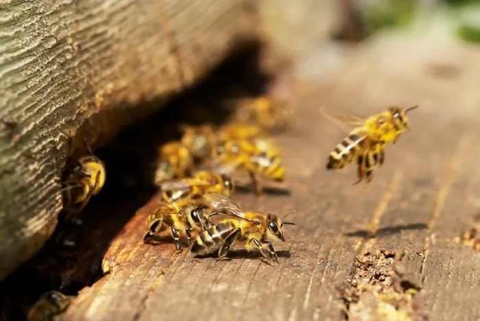 How To Protect Honey Bees From Hornets