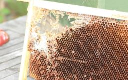 How To You Get Rid Of Wax Moths In Your Beehive