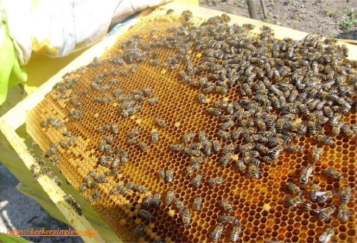 How to Harvest Royal Jelly From Bees