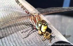 Do Dragonflies Eat Bees