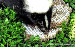 Do Skunks Eat Bees